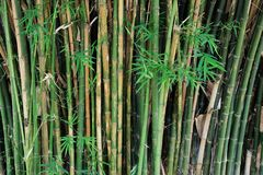 Bambù fresco immagini stock