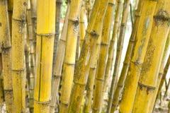 Bambù giallo Fotografia Stock Libera da Diritti