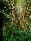 Bambù giallo di bambù maturo Fotografia Stock Libera da Diritti