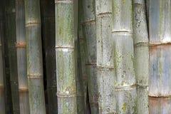 Bambù gigante, il più alta erba Fotografie Stock
