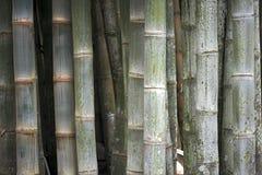 Bambù gigante, il più alta erba Fotografie Stock Libere da Diritti
