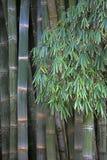 Bambù gigante, il più alta erba Fotografia Stock