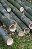 Bambù gigante, il più alta erba Fotografia Stock Libera da Diritti
