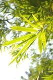 Bambù nel sole Fotografia Stock