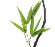 Bambù nero Immagine Stock