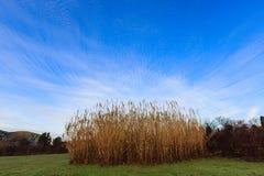 Bambù secco Fotografie Stock