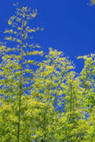Bambù sopra il cielo Fotografia Stock