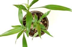 Bambù (superiore da 2) Immagini Stock