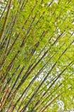 Bambù verde Fotografie Stock Libere da Diritti