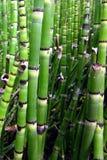 Bambù verde Fotografia Stock Libera da Diritti