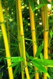 Bambú 03 Fotos de archivo libres de regalías