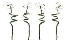 Bambú Imagenes de archivo