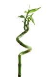 Bambú afortunado Fotografía de archivo