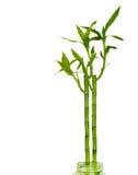 Bambú afortunado Imágenes de archivo libres de regalías