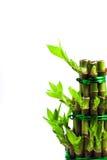 Bambú afortunado Foto de archivo libre de regalías