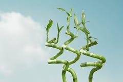 Bambú afortunado Fotografía de archivo libre de regalías