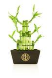 Bambú afortunado en crisol Fotos de archivo