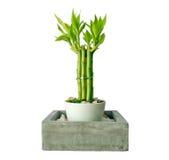 Bambú afortunado (sanderiana del Dracaena) en un pote de la porcelana Foto de archivo