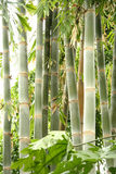 Bambú alto Imágenes de archivo libres de regalías