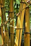 Bambú amarillo en luz del sol, jardín botánico Taipei imagen de archivo
