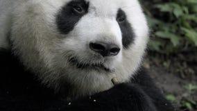 Bambú ascendente cercano de la consumición de la panda metrajes