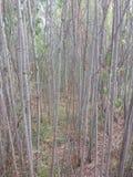 Bambú canadiense Foto de archivo libre de regalías