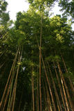 Bambú con el tronco amarillo Foto de archivo libre de regalías
