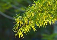 Bambú de la buena mañana Fotos de archivo libres de regalías