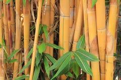 Bambú de oro Imagenes de archivo