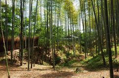 Bambú del arashiyama de la saga fotografía de archivo