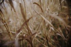 Bambú del bastón del campo de la primavera del otoño de los Wheatears Foto de archivo libre de regalías