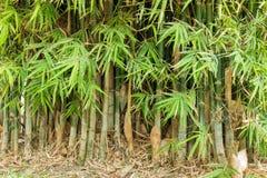 Bambú en bosque fotografía de archivo
