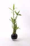 Bambú en florero negro Fotografía de archivo