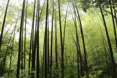 Bambú en Hangzhou Foto de archivo