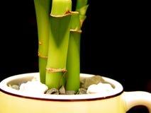 Bambú en taza foto de archivo libre de regalías