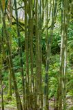 Bambú en un sao Miguel Azores del bosque Imágenes de archivo libres de regalías