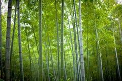 Bambú fresco Imagen de archivo libre de regalías