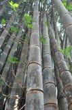 Bambú grande Foto de archivo libre de regalías