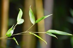 Bambú hermoso en su jardín imagenes de archivo