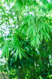 Bambú más forrest Fotos de archivo