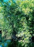 Bambú más forrest Foto de archivo