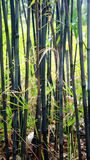 Bambú negro Foto de archivo