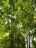 Bambú negro que crece afuera Imagen de archivo libre de regalías
