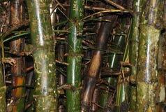 Bambú, predominante en los bosques tropicales, capturados en parque de la cumbre, Panamá Imagen de archivo