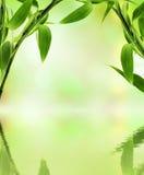 Bambú verde Imágenes de archivo libres de regalías