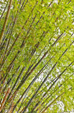 Bambú verde Fotos de archivo libres de regalías