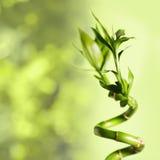 Bambú verde Imagen de archivo