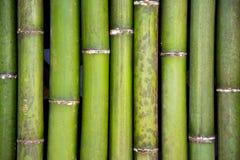 Bambú verde Fotografía de archivo