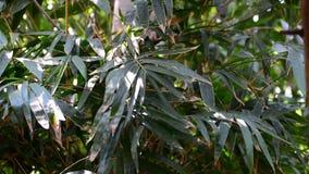 Bambú verde metrajes