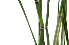 Bambú y colas de caballo Foto de archivo libre de regalías